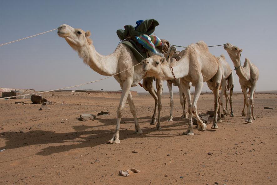 VS.Camellos